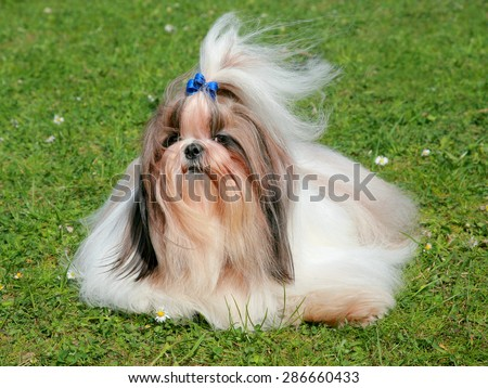 The Portrait Of Funny Shih Tzu Dog In The Spring Garden