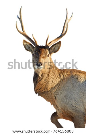 white deer mature singles White tail deer : more animals on deer  the under parts of the deer's body are white with a white patch on the throat and another  this is a mature buck and .