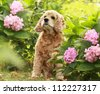 The red dog of breed an English cocker a spaniel sits in a garden on a green grass under a green bush with pink flower Hydrangea serrata - stock photo