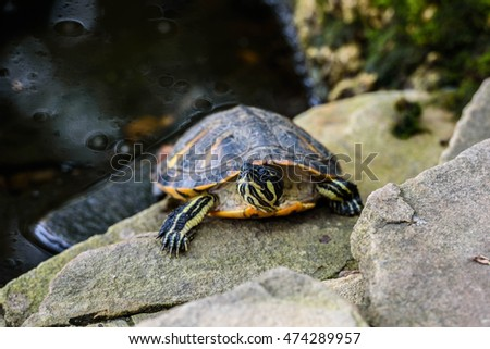 The red-eared slider is on stone
