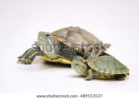 The Red eared terrapins