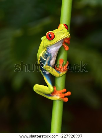 the red eyed tree frog or gaudy leaf frog or Agalychnis callidryas is a arboreal hylid native to tropical rainforests in Central America commonly panama and costa rica .