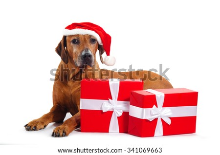 The Rhodesian Ridgeback dog with Santa hat and Christmas gifts