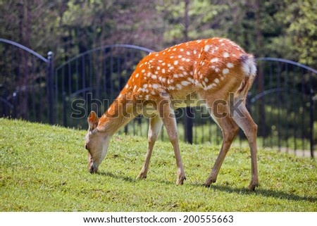 The spotted deer grazing on green grass
