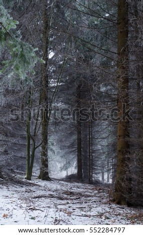 The spruce forest in winter fog.
