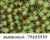 The star pattern of Common Haircap Moss (Polytrichum commune), suitable for backgrounds. - stock photo