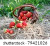 The strawberry from a basket is poured out on hay - stock photo