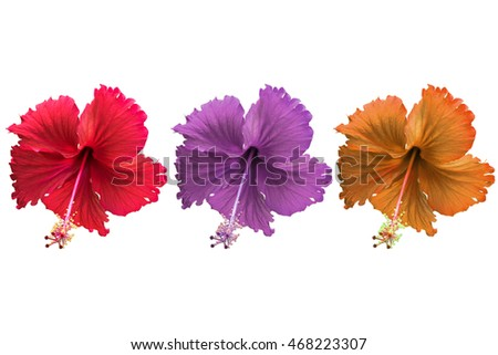 The three color of Hibiscus flower; Red purple and orange; Isolated