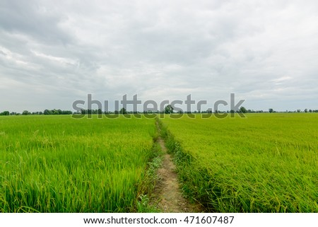 The vast green rice fields