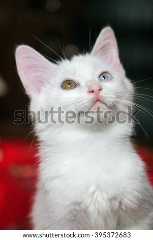 The white persian cat shoot in studio