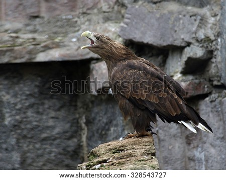 The white-tailed eagle (Haliaeetus albicilla) sitting on the rock