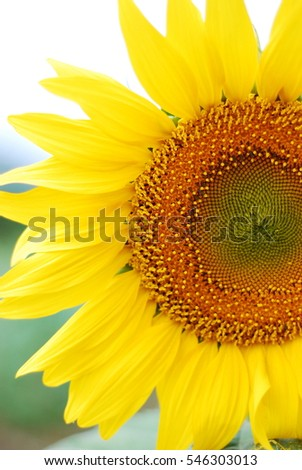 The yellow flower called Sunflower was a very beautiful in the sunlight, the flora in sunny day in natural with bright