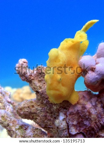 The Yellow Giant Frogfish (Antennarius commersoni) sitting on the hard coral