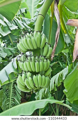 There are many different species of banana, banana plantations are in Asia.