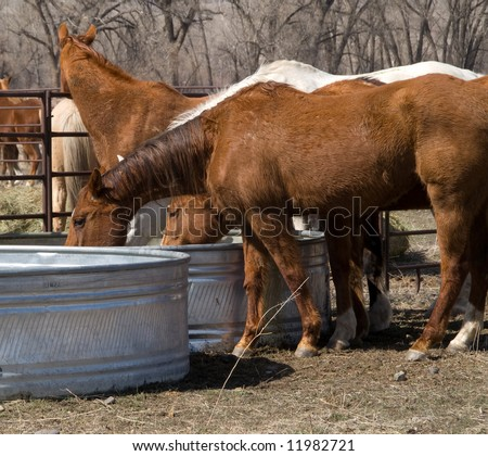 These horses are thirsty after a hard day on the trail