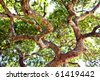 thick oak branch - seen below - stock photo