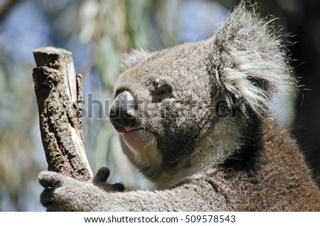 this is a close up of a koala