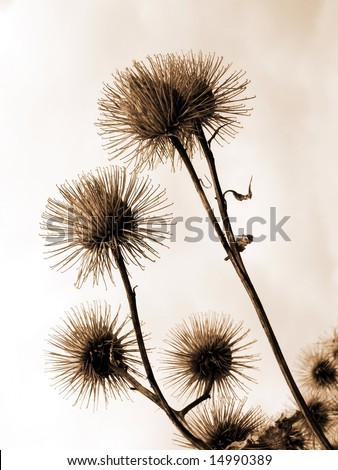 Thistle on sky background in sepia