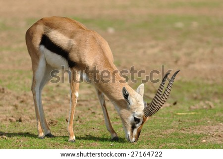Thomson Gazelle is one of the smallest and the prettiest in the family