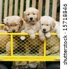 three adorable golden retriever puppies in yellow cart - stock photo