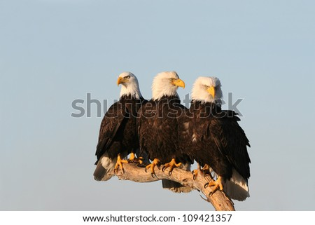 Three Bald Eagles perched close together.