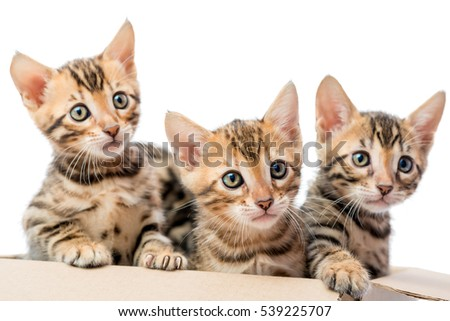 three beautiful purebred kitten look out from a cardboard box