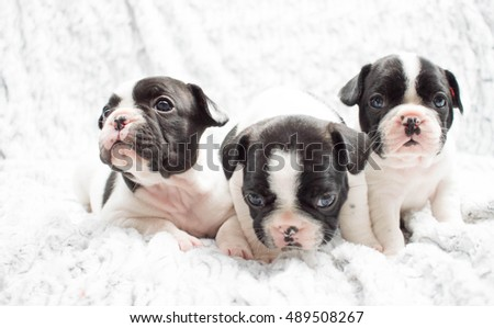 Three Black and White French Bulldog Puppies