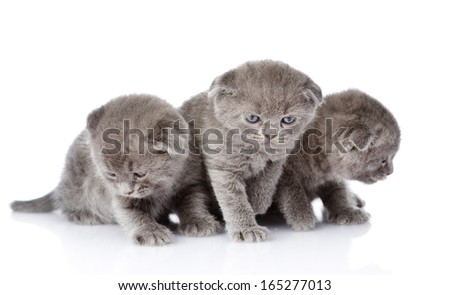 three british shorthair kittens. isolated on white background
