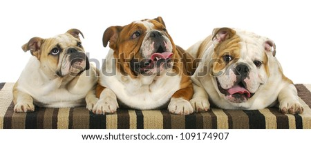 three bulldogs laying down 8 months old littermates