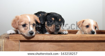 Three cute mixed breed pups