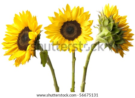 Three fresh sunflowers isolated on white background. Focus on flowers, stems just beyond depth of field.