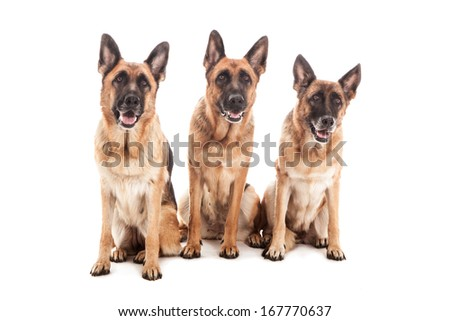 Three German Shepherds over white isolated background