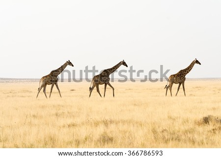 Three giraffes walking through grass land. namibia, africa.