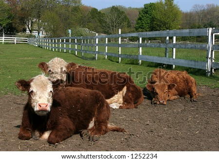 three heresford cows in laying in pasture