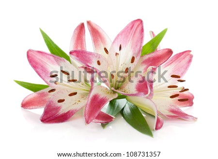 Three pink lily. Isolated on white background