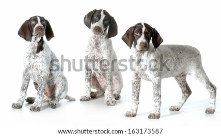 three puppies - german shorthaired pointer puppies from same litter isolated on white background - 11 weeks old