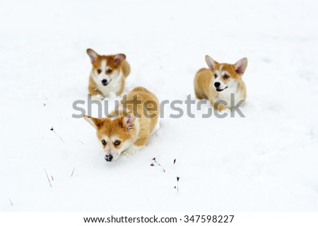 Three puppies of the Welsh Corgi play in snow