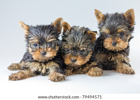 Three puppies Yorkshire Terrier on light gray background