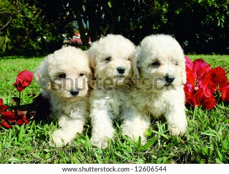 Three purebreed french poodle puppies