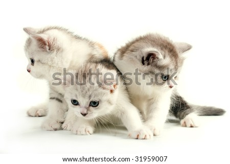 Three scottish straight breed young pussycats, seated on white background. No isolated.