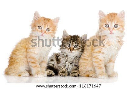 three small kittens look in a lens. isolated on white background