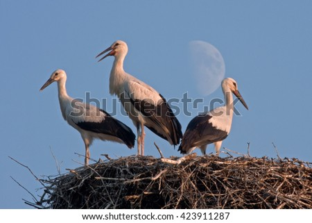 Three storks against Moon. White stork (Ciconia ciconia).