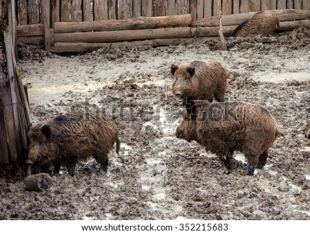 three wild pigs in aviary of the zoo