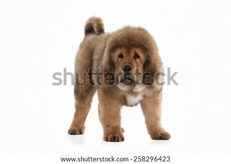 Blond Brown Labrador Retriever Puppy Facing Stock Photo ...