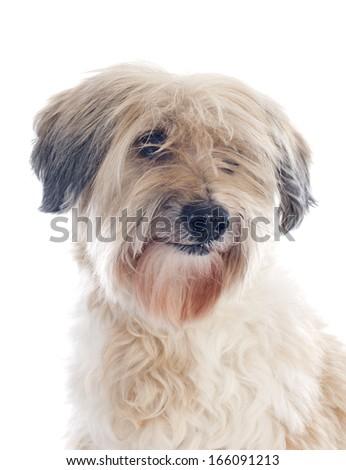 tibetan terrier in front of