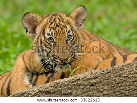 Tiger Cub Peeking Over a Log