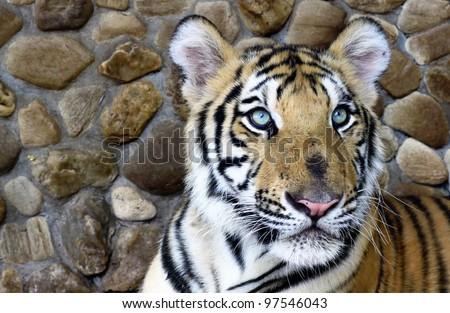 Mosaic Big Cats Photos Stock Photo 94422700 Shutterstock