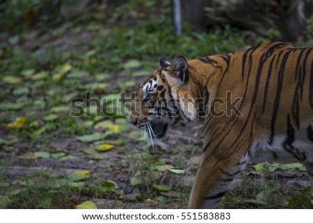 Tiger,face,animal,movement,wildlife,skin,living thing,mammals