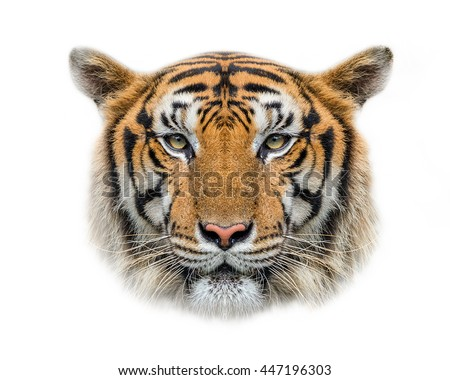 Tiger face isolated on white background.