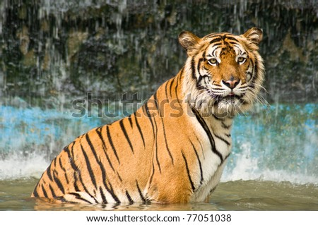 tiger is sitting in the water